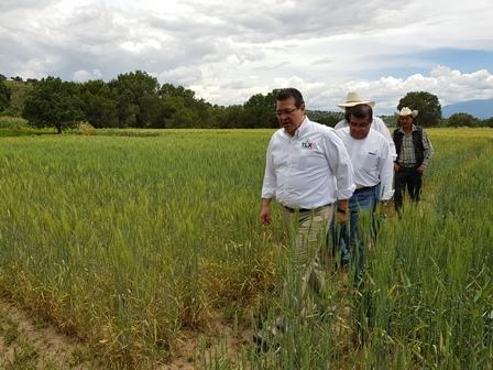 El gobernador recorre parcela demostrativa de trigo en Terrenate