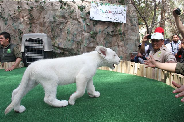 Xonotli, nombre del cachorro de león blanco de Tlaxcala