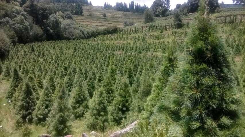 Ofrece México 800 mil árboles para navidad 2016
