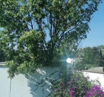 Denuncian poda ilegal de árboles en el municipio de Totolac