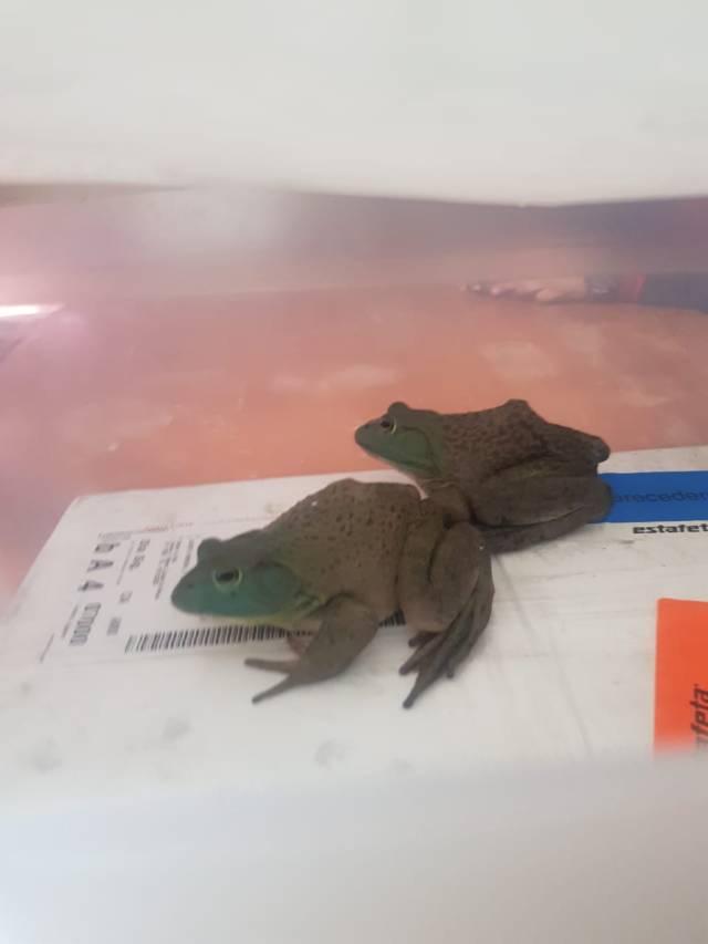 Policía Federal asegura dos ejemplares de rana Toro en empresa de paquetería
