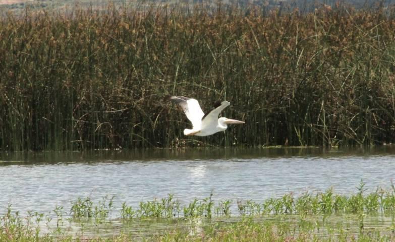 La laguna de Atlangatepec recibe varias parejas de pelicanos