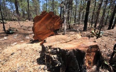 Administración de Peña Nieto se negó a combatir la tala clandestina