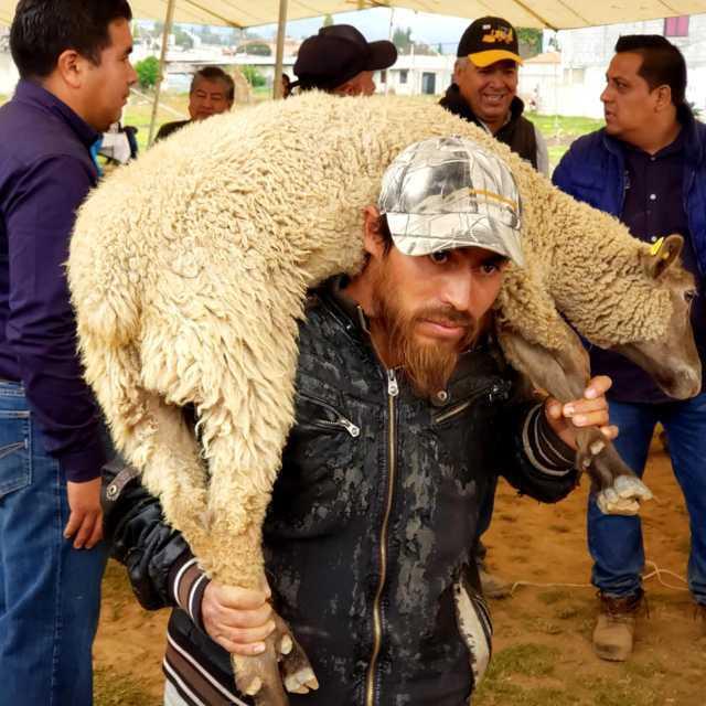 Alcalde impulsa la economía de 300 productores entregando ganado ovino