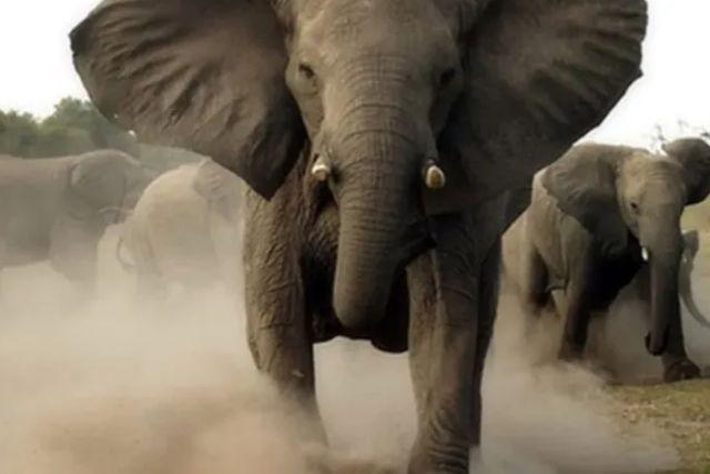 Fallece turista de 71 años al ser pisoteado por un elefante