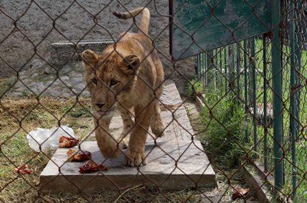 Llegan al Zoológico del Altiplano dos leonas africanas