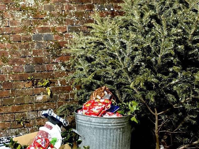 A partir de este 7 de enero inicia campaña de recolección de Árboles de Navidad